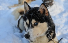 Dog sledding Safari